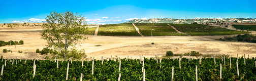 Green wineyards Stock Images