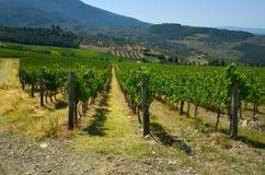 Green Wineyards in Tuscany, Chianti, Italy. Wineyards in Tuscany, vinegrapes, and leaves vine. Chianti region, in Tuscany, Italy royalty free stock photos