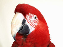 Green Wing Macaw Stock Images