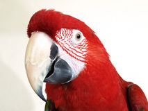 Green Wing Macaw Stock Image