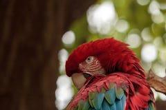 Green wing macaw Ara chloropterus Royalty Free Stock Photos