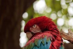 Green wing macaw Ara chloropterus Royalty Free Stock Image
