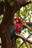 Green wing macaw Ara chloropterus. Is a colorful bird found in South America Stock Image