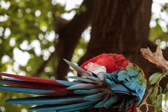 Green wing macaw Ara chloropterus. Is a colorful bird found in South America Stock Photo