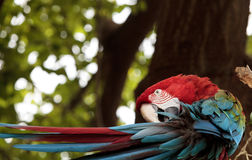 Green wing macaw Ara chloropterus. Is a colorful bird found in South America Stock Photos