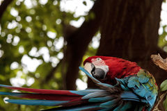Green wing macaw Ara chloropterus. Is a colorful bird found in South America Royalty Free Stock Photo
