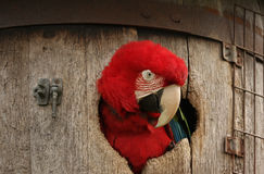 Green Wing Macaw in Barrel. The red head of a Green Wing Macaw parrot sticking out of a barrel Stock Image