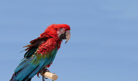 Green wing Macaw parrot bird Ara chloropterus Royalty Free Stock Photography
