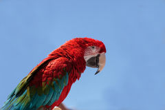Green wing Macaw parrot bird Ara chloropterus Royalty Free Stock Images