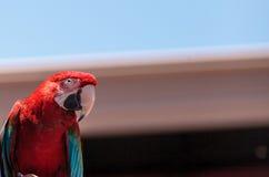 Green wing Macaw parrot bird Ara chloropterus Royalty Free Stock Photos
