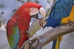 Green-winged ara die denneappel eten Stock Afbeelding