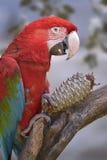 Green-winged ara met denneappel Stock Afbeelding