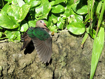 Green-winged dove Royalty Free Stock Photos