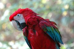 Green-winged macaw. Portrait of a green-winged macaw (Ara chloroptera Royalty Free Stock Photography