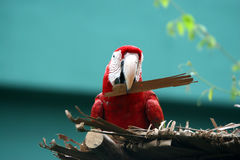 Green - Winged Macaw. A Green - winged macaw stand on roof Stock Photography