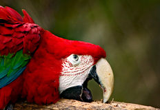 Green winged macaw Stock Photos