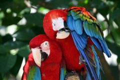 Green - Winged Macaw. Two beautiful Green - winged macaws Royalty Free Stock Images
