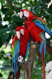 Green - Winged Macaw. Two beautiful Green - winged macaws Royalty Free Stock Photos