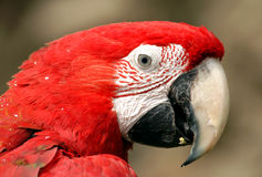 Green-Winged Macaw. A green-winged macaw (Ara chloroptera). These parrots live in Central and South America from Mexico to Brazil Stock Images