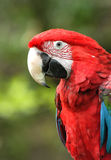 Green-Winged Macaw. A green-winged macaw (Ara chloroptera). These parrots live in Central and South America from Mexico to Brazil Royalty Free Stock Image
