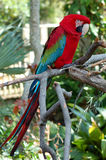 Green Winged Macaw. Perched on branch royalty free stock photography