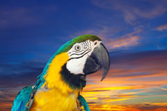 Green-winged macaw against sunset Stock Photos