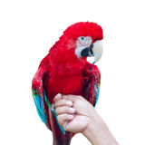 Green-Winged Macaw, Ara chloroptera. Green-Winged Macaw. perch on the hand, Scientific name : Ara chloroptera Stock Images