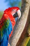 The green-winged macaw (Ara chloroptera) Royalty Free Stock Photo