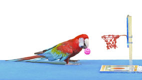 Green-Winged Macaw ( Ara chloroptera ). Playing basketball toy is fun. 16:9 royalty free stock image