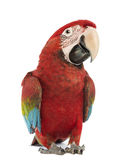 Green-winged Macaw, Ara chloropterus, 1 year old. In front of white background stock image