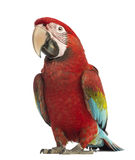 Green-winged Macaw, Ara chloropterus, 1 year old Stock Image