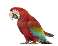 Green-winged Macaw, Ara chloropterus, 1 year old. In front of white background stock photography