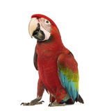 Green-winged Macaw, Ara chloropterus, 1 year old. In front of white background stock photo