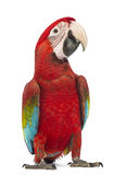 Green-winged Macaw, Ara chloropterus, 1 year old. In front of white background stock images