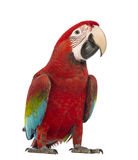 Green-winged Macaw, Ara chloropterus, 1 year old. In front of white background royalty free stock image