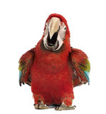 Green-winged Macaw, Ara chloropterus, 1 year old, calling. In front of white background royalty free stock photos