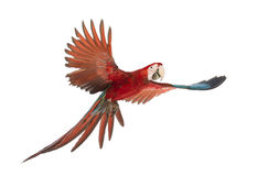 Green-winged Macaw, Ara chloropterus, 1 year old, flying. In front of white background stock images