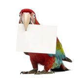 Green-winged Macaw, Ara chloropterus, 1 year old, holding a white card in its beak. In front of white background royalty free stock photography