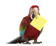 Green-winged Macaw, Ara chloropterus, 1 year old, holding a yellow card in its beak, a post-it. In front of white background royalty free stock images