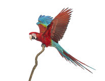Green-winged Macaw, Ara chloropterus, 1 year old, perched on branch. In front of white background stock images