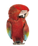 Green-winged Macaw, Ara chloropterus, 1 year old, scratching itself Royalty Free Stock Image