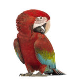 Green-winged Macaw, Ara chloropterus, 1 year old, scratching itself. In front of white background stock photo