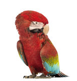 Green-winged Macaw, Ara chloropterus, 1 year old, scratching itself Royalty Free Stock Photography