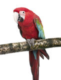 Green-winged Macaw - Ara chloropterus (18 months). In front of a white background Stock Photography