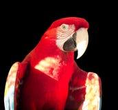 Green-winged Macaw. Ara chloropterus Stock Image