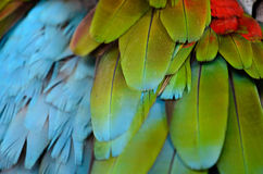 Green-winged Macaw (Ara chloropterus) Royalty Free Stock Photo