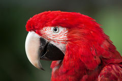 Green-winged macaw Ara chloropterus Stock Photos