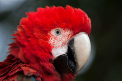 Green-winged macaw Ara chloropterus. Also known as the red-and-green macaw Stock Images
