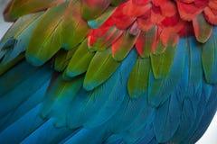 Green-winged macaw Ara chloropterus royalty free stock photo