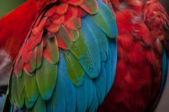 Green-winged macaw Ara chloropterus. Also known as the red-and-green macaw. Plumage texture Royalty Free Stock Image